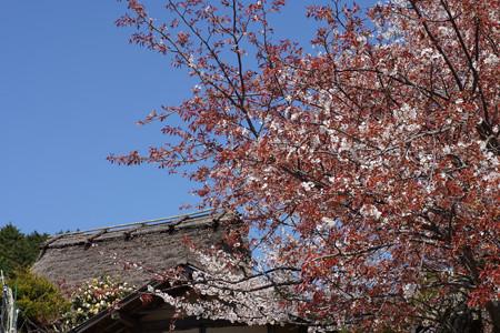 三多気の桜 - 06
