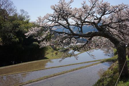 三多気の桜 - 09