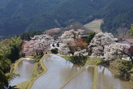 三多気の桜 - 10