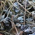 さつまいもの葉に霜