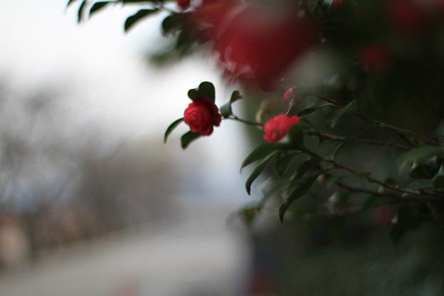 後楽園の山茶花