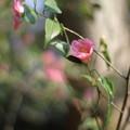 Photos: つばき