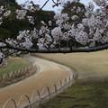 Photos: 御庭のさくら