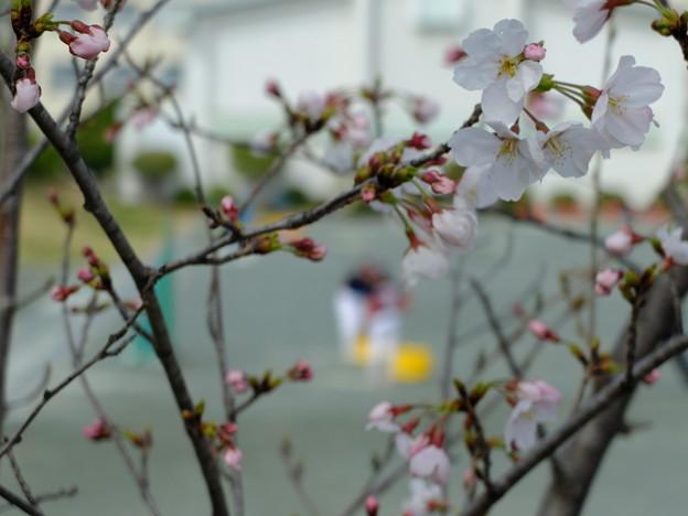 桜咲く校庭で
