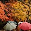 Photos: 雨もみじ-6