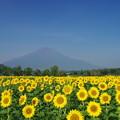 IMGP9609 富士山と向日葵