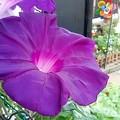 写真: 紫の朝顔