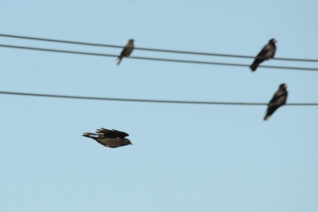 コクマルガラス飛翔 電線にミヤマガラス2羽ともう1羽コクマルガラスかな?