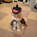 Photos: ハロウィンのコスプレをしたラグドールのミミちゃん。『可愛い~!』...