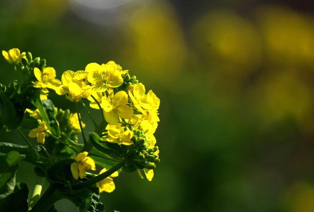 菜の花140316001