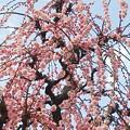 Photos: 垂れ咲き