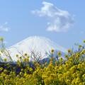 rs-140311_菜の花と富士山 (8)