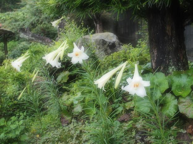 庭の高砂百合