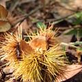 写真: 山栗の殻