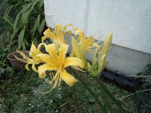 黄色い彼岸花(ショウキズイセン)