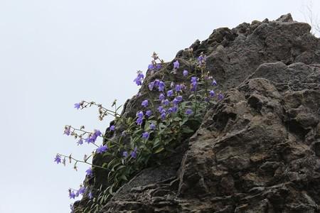 岩場にお花4-7