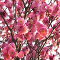 Photos: 【冬】梅、桃、桜の見分け方 THEうんちく 2013年