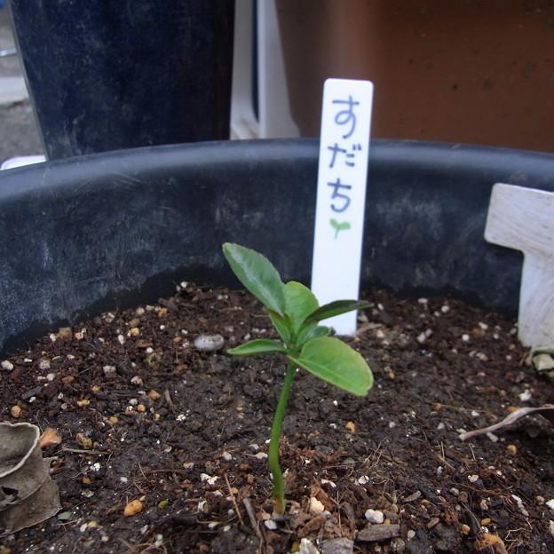 【園芸】酢橘[すだち]の芽 2013年[01]春