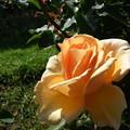 Photos: 【初夏】黄色のバラ|横浜 [2013]
