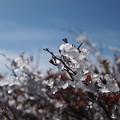 草紅葉に氷