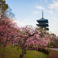 写真: 初春の東寺