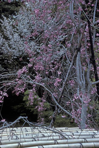 1986年4月(PKM)コダクローム25 岡山後楽園 桜?梅?