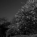 写真: 梅も見ごろに