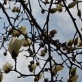 写真: 木蓮が・・・