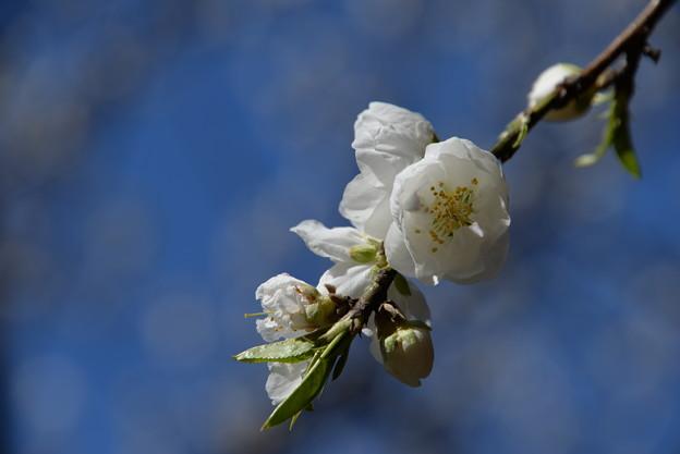 写真: 花桃
