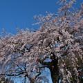 枝垂桜が・・・