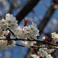 写真: 山桜?
