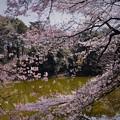 写真: 裏見の桜