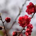 写真: 花桃?