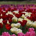 写真: 咲いた・・・