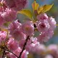 写真: 八重の季節
