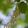 写真: 白雲木