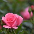 写真: 春薔薇