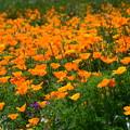 写真: オレンジ・オレンジ・・・