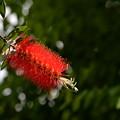 写真: ブラシの木