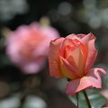 Photos: 6月の薔薇