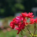 6月の薔薇3