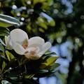 写真: タイサンボク