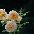 写真: 7月の薔薇