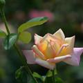 写真: 7月の薔薇2