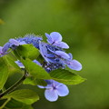 写真: 名残りの紫陽花