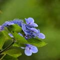 名残りの紫陽花
