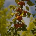 写真: 銀杏の季節