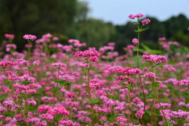 写真: 赤ソバの花