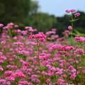 赤ソバの花