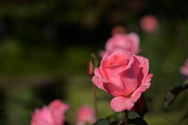 写真: ピンク
